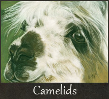 gallery-camelid